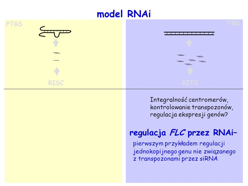 model RNAi regulacja FLC przez RNAi– pierwszym przykładem regulacji