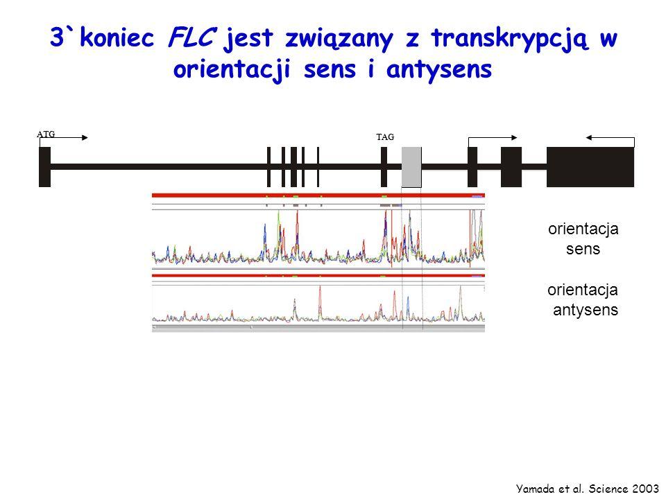 3`koniec FLC jest związany z transkrypcją w orientacji sens i antysens