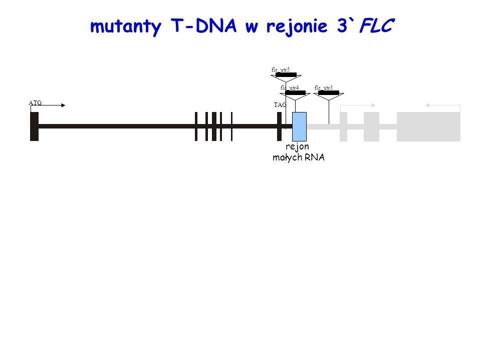 mutanty T-DNA w rejonie 3`FLC