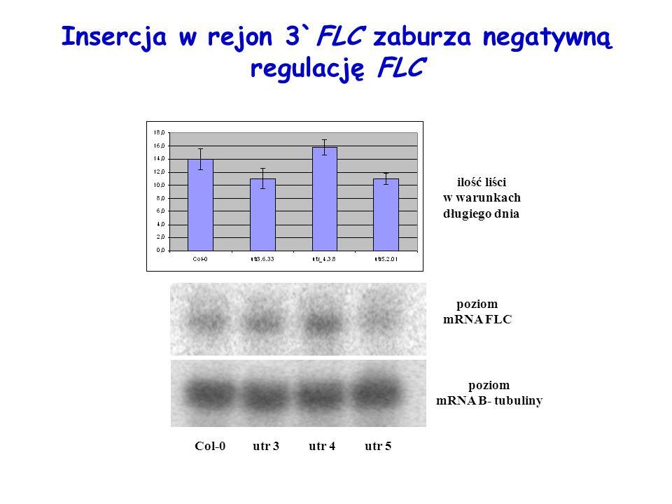 Insercja w rejon 3`FLC zaburza negatywną regulację FLC