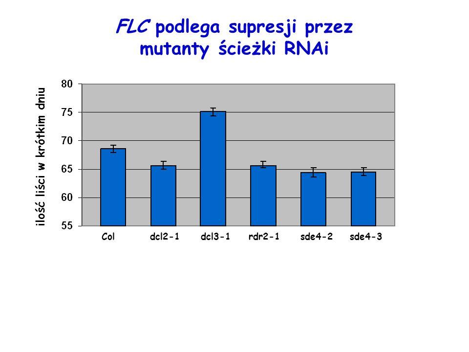 FLC podlega supresji przez mutanty ścieżki RNAi