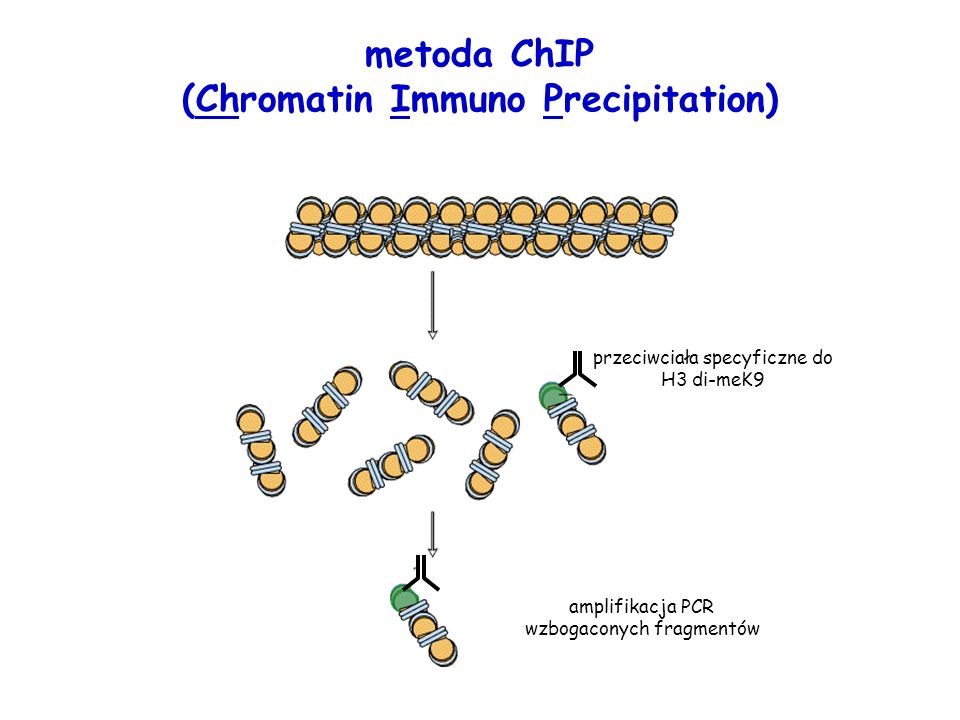 metoda ChIP (Chromatin Immuno Precipitation)