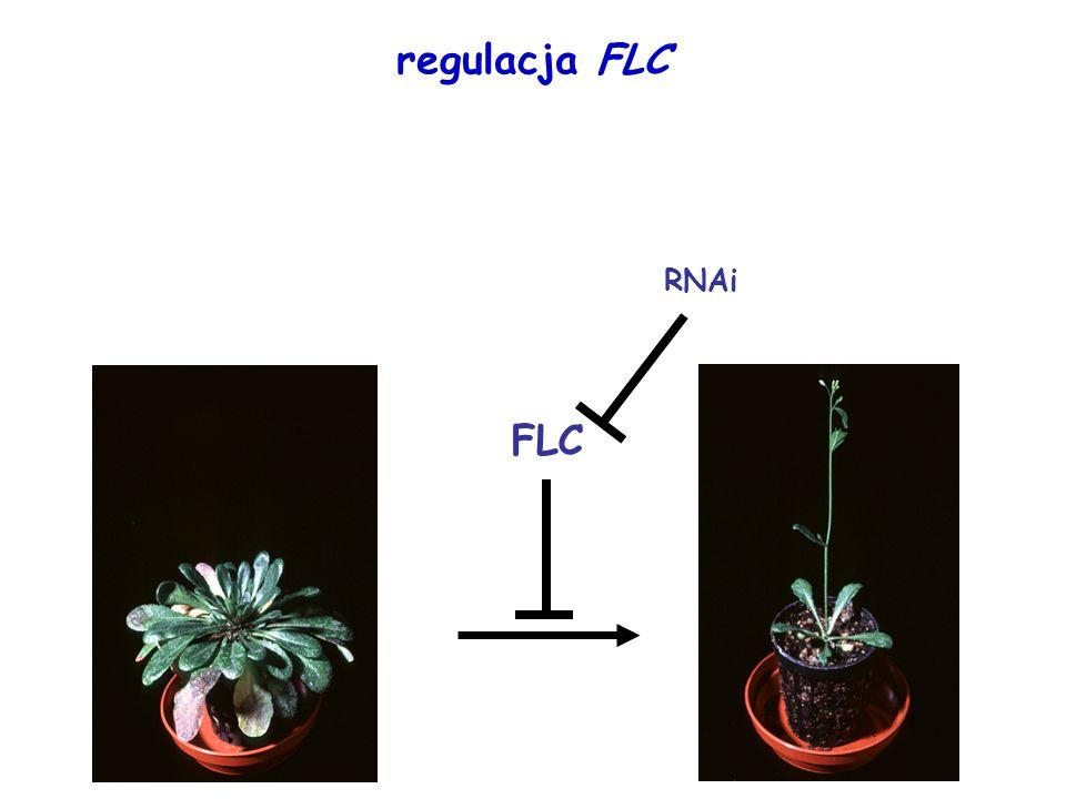 regulacja FLC RNAi FLC