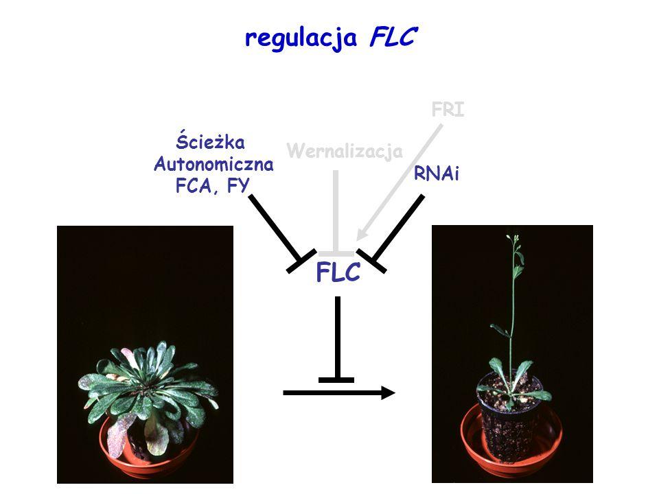 regulacja FLC FRI Ścieżka Autonomiczna FCA, FY Wernalizacja RNAi FLC
