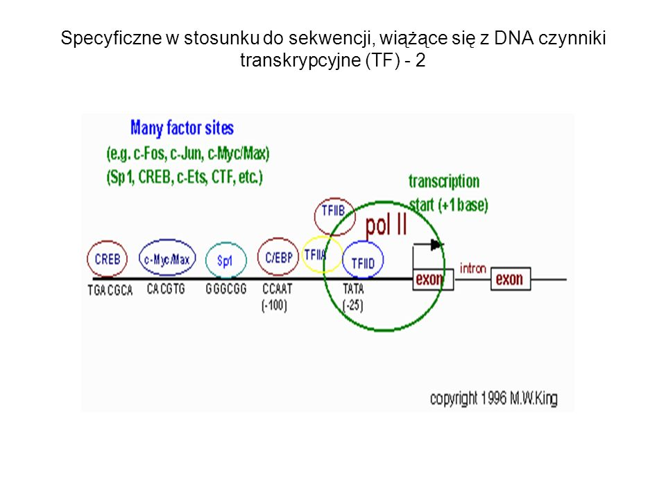Specyficzne w stosunku do sekwencji, wiążące się z DNA czynniki transkrypcyjne (TF) - 2