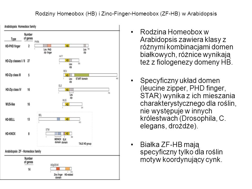 Rodziny Homeobox (HB) i Zinc-Finger-Homeobox (ZF-HB) w Arabidopsis