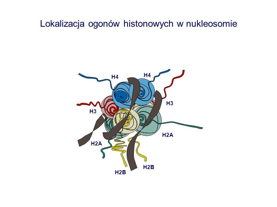 Lokalizacja ogonów histonowych w nukleosomie