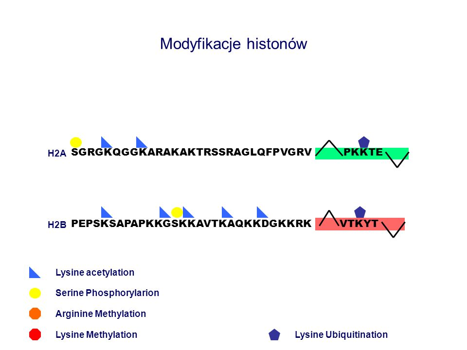 Modyfikacje histonów SGRGKQGGKARAKAKTRSSRAGLQFPVGRV PKKTE