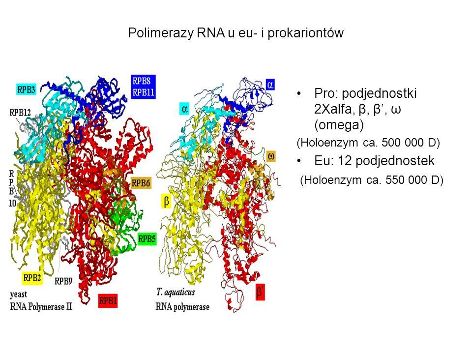 Polimerazy RNA u eu- i prokariontów