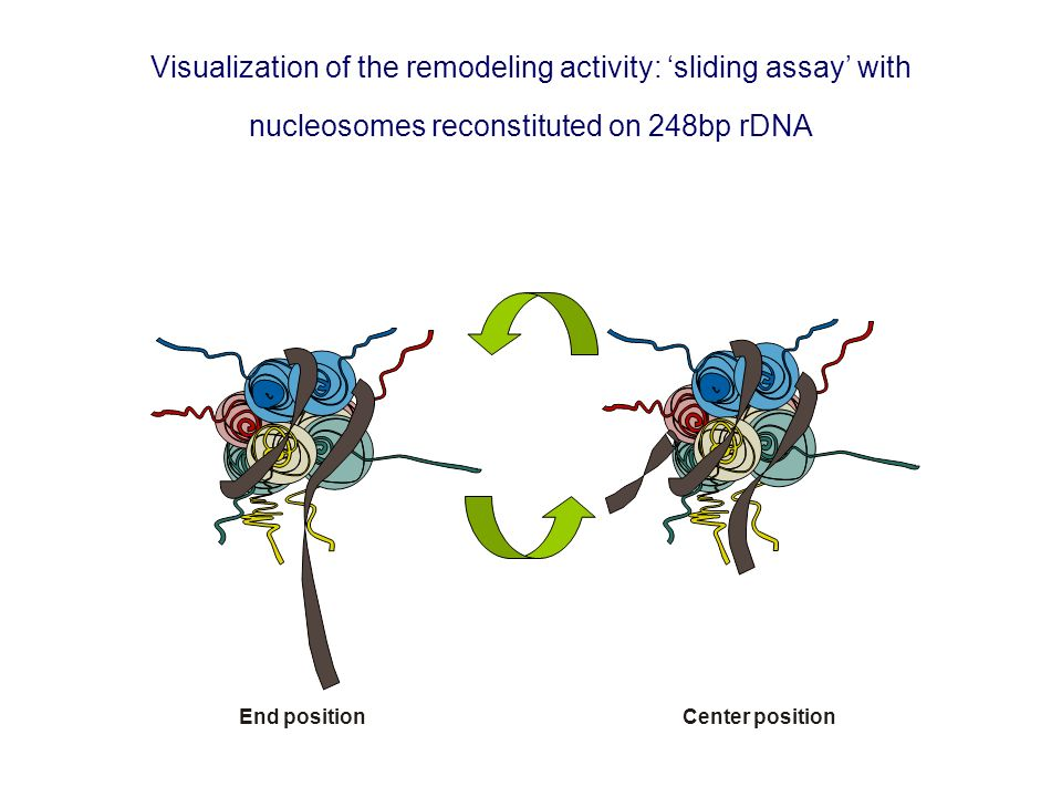 Visualization of the remodeling activity: 'sliding assay' with nucleosomes reconstituted on 248bp rDNA