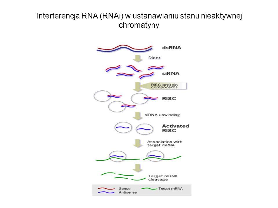 Interferencja RNA (RNAi) w ustanawianiu stanu nieaktywnej chromatyny