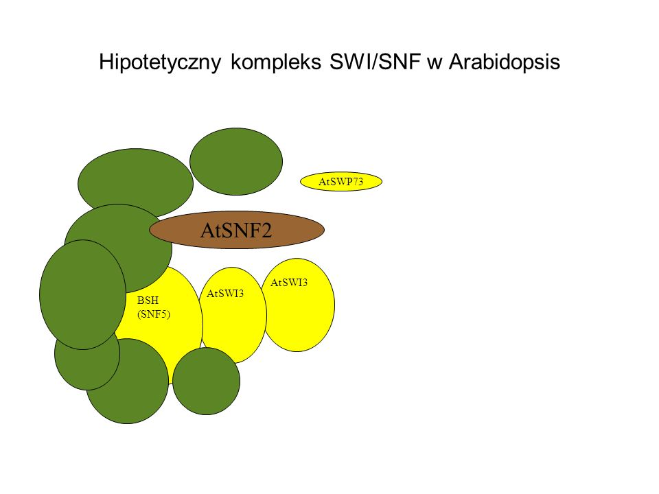 Hipotetyczny kompleks SWI/SNF w Arabidopsis