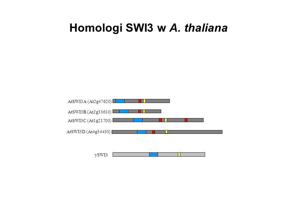 Homologi SWI3 w A. thaliana