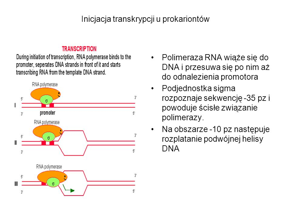Inicjacja transkrypcji u prokariontów