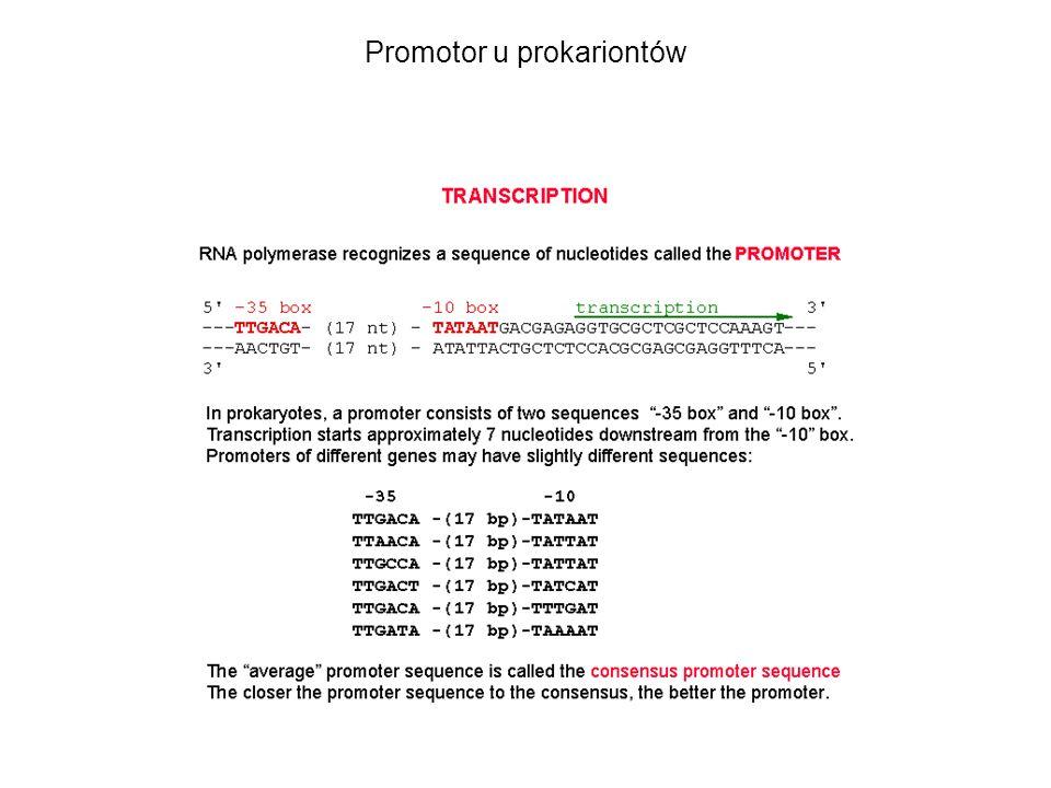 Promotor u prokariontów