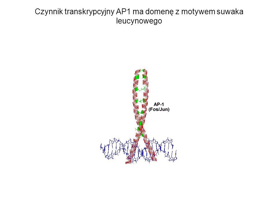 Czynnik transkrypcyjny AP1 ma domenę z motywem suwaka leucynowego
