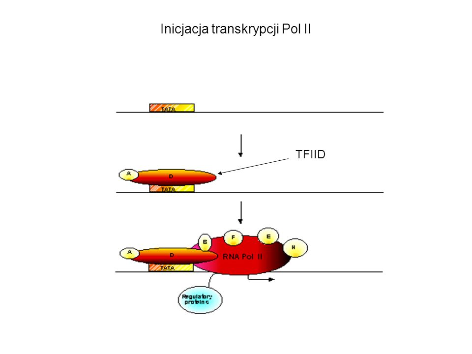 Inicjacja transkrypcji Pol II