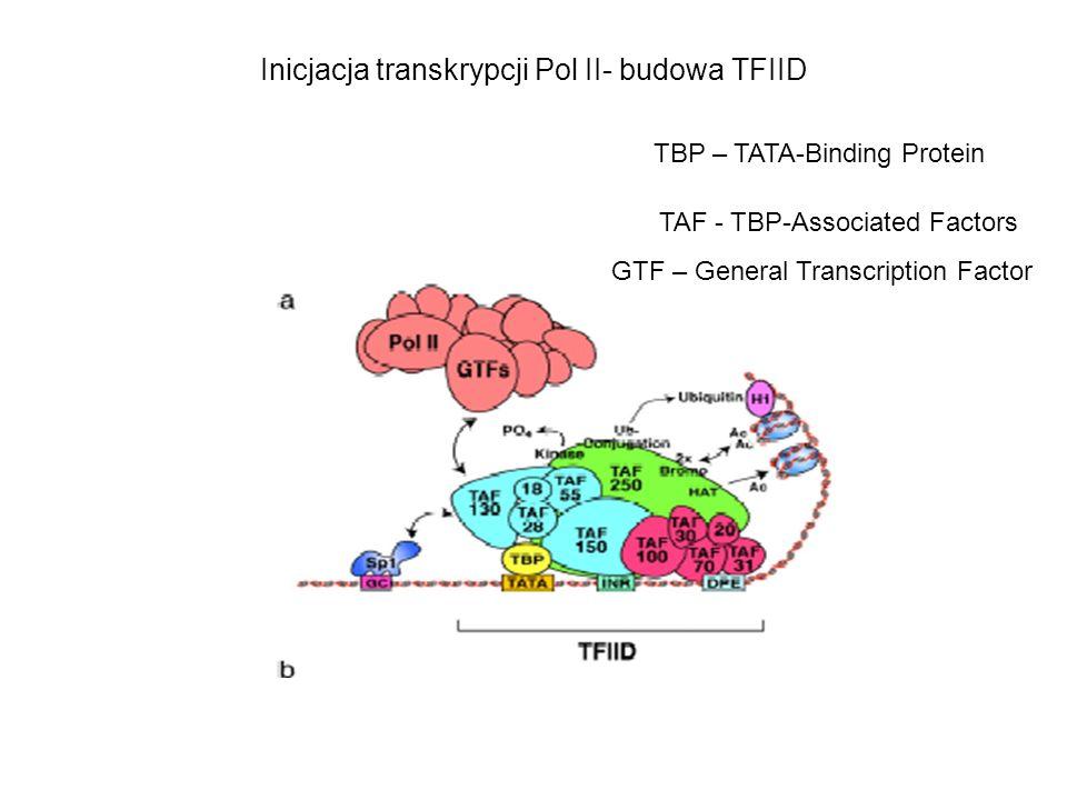 Inicjacja transkrypcji Pol II- budowa TFIID