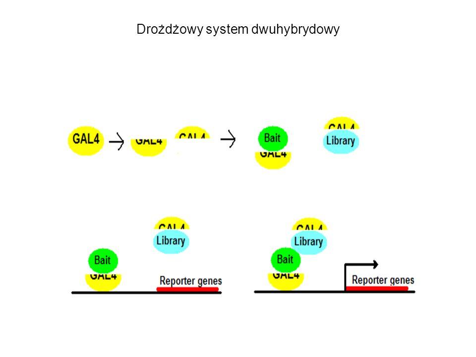 Drożdżowy system dwuhybrydowy