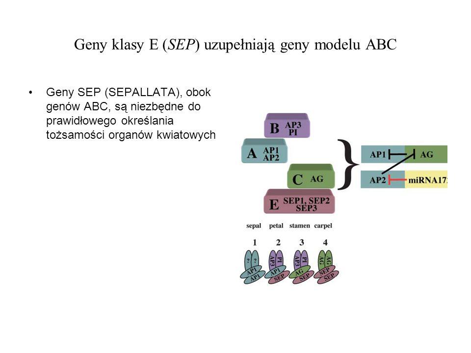 Geny klasy E (SEP) uzupełniają geny modelu ABC