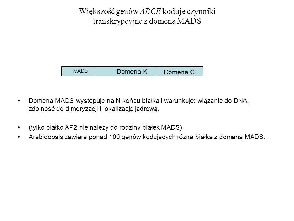 Większość genów ABCE koduje czynniki transkrypcyjne z domeną MADS