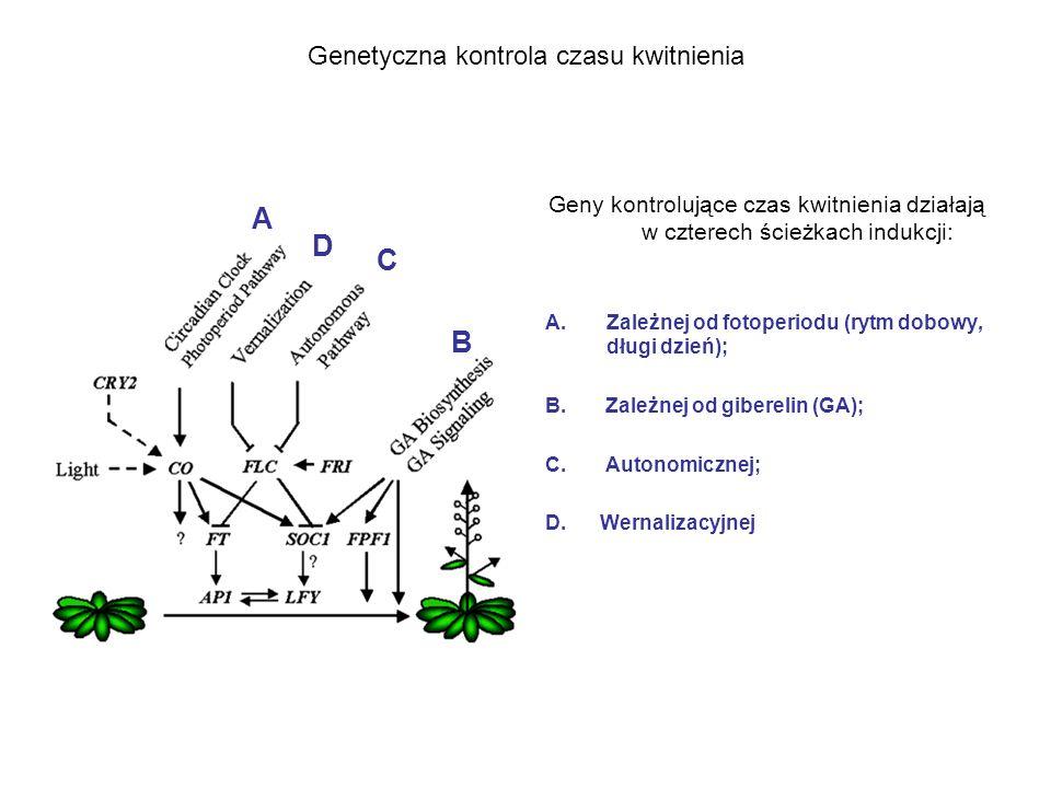 Genetyczna kontrola czasu kwitnienia