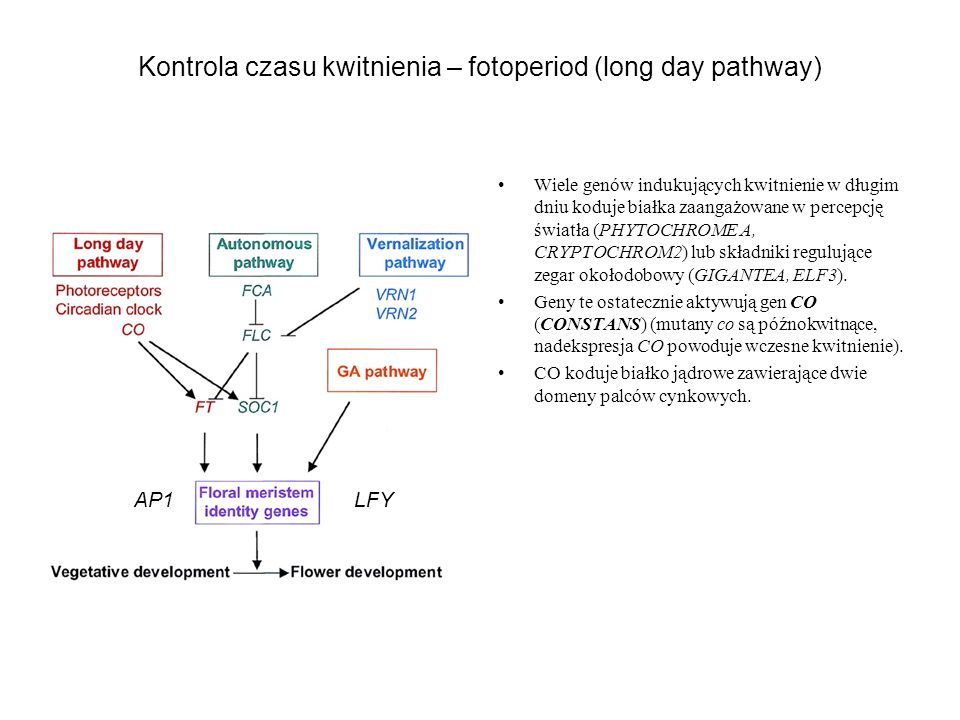 Kontrola czasu kwitnienia – fotoperiod (long day pathway)