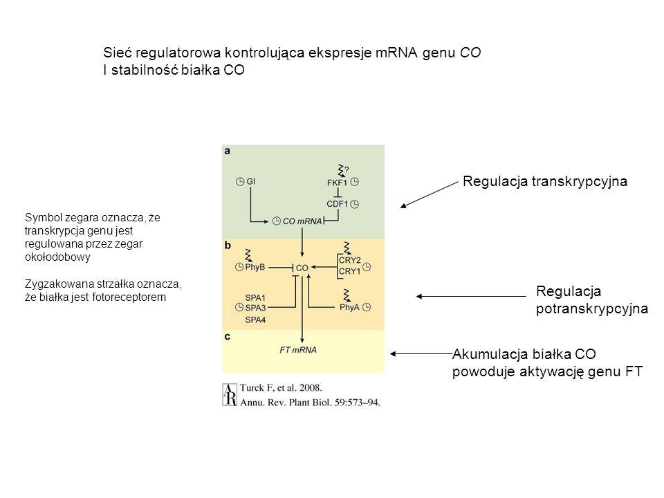 Sieć regulatorowa kontrolująca ekspresje mRNA genu CO