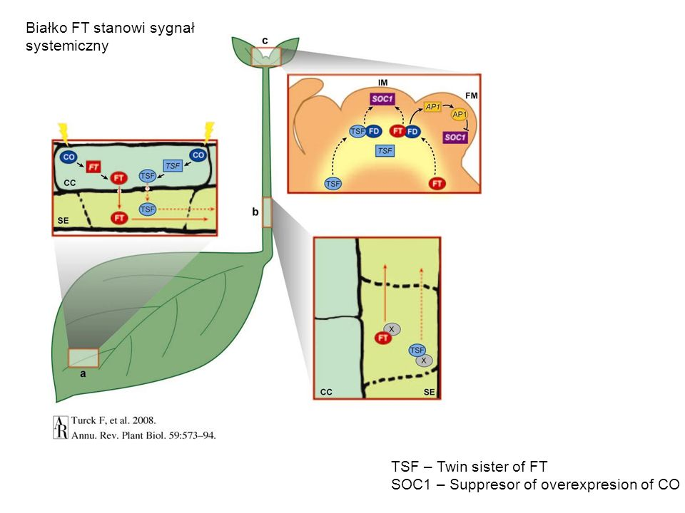 Białko FT stanowi sygnał