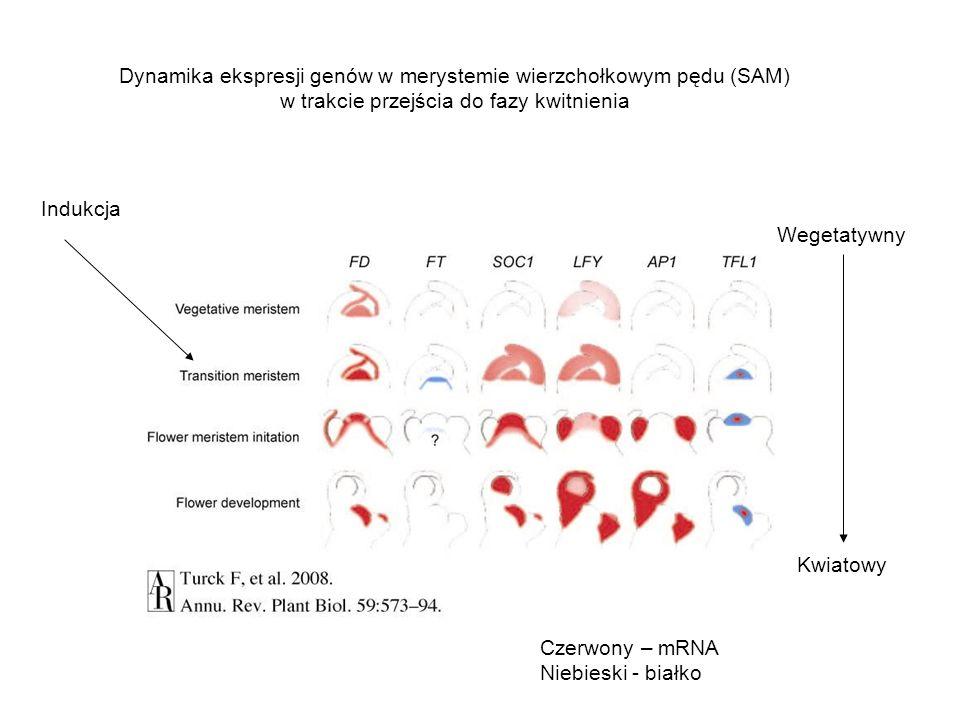 Dynamika ekspresji genów w merystemie wierzchołkowym pędu (SAM)