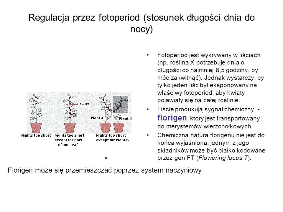Regulacja przez fotoperiod (stosunek długości dnia do nocy)