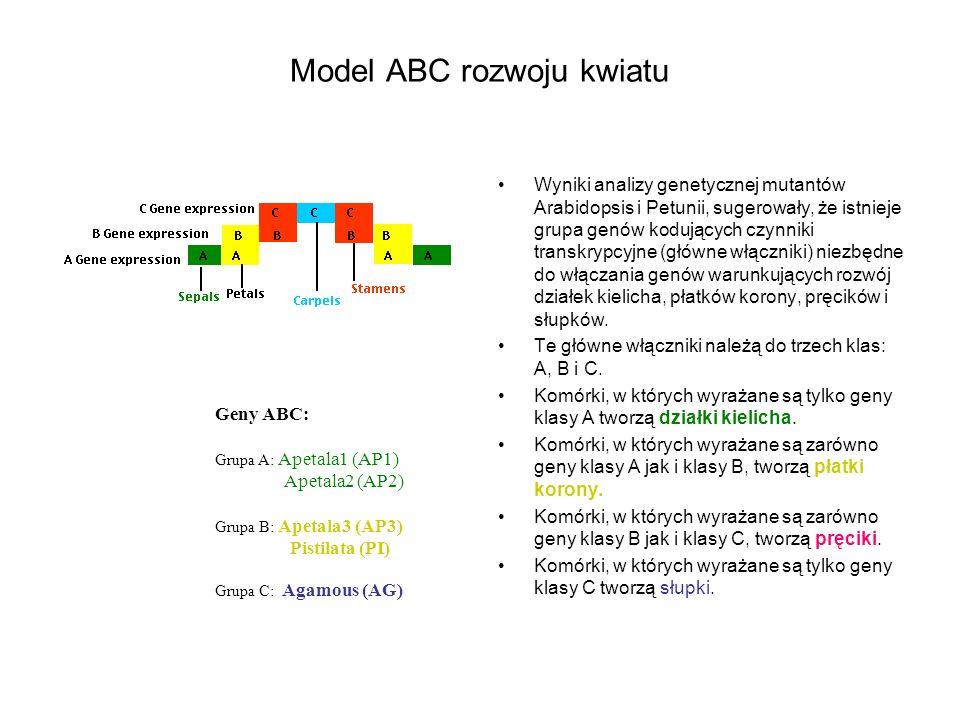 Model ABC rozwoju kwiatu