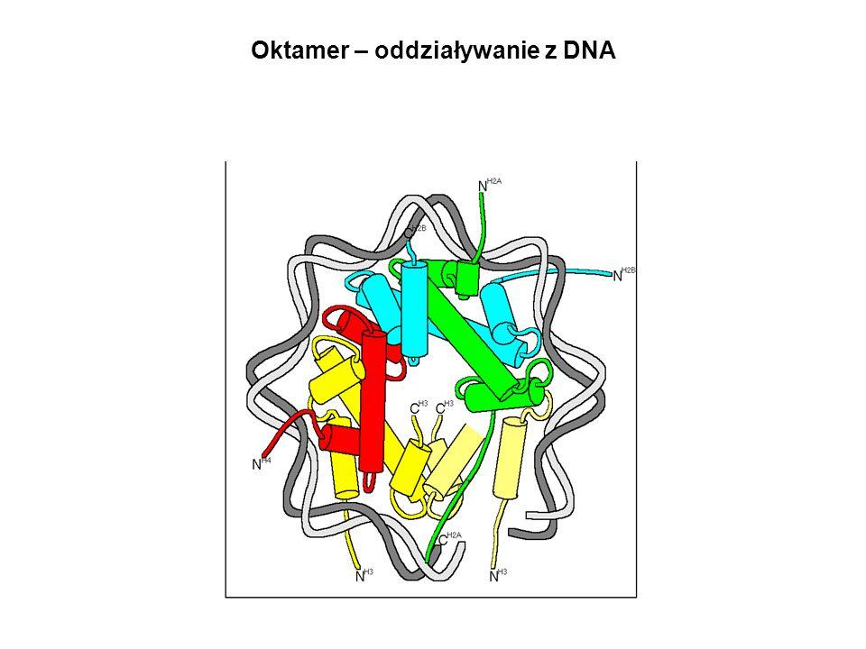 Oktamer – oddziaływanie z DNA