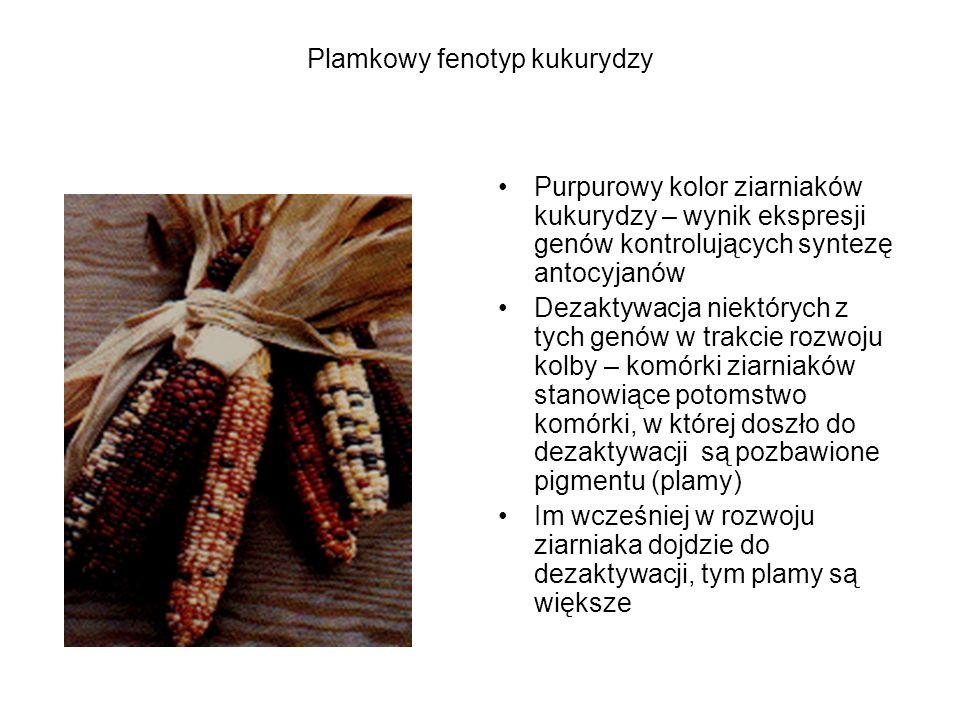 Plamkowy fenotyp kukurydzy