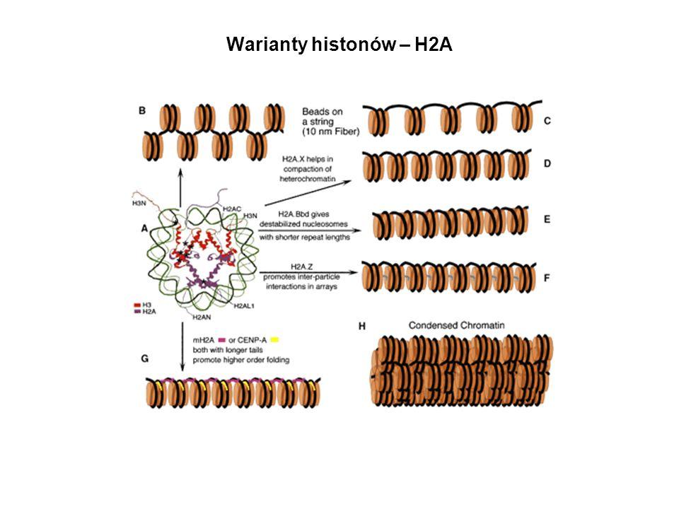 Warianty histonów – H2A Warianty h1- rozna dynamika wiazania z chromatyna