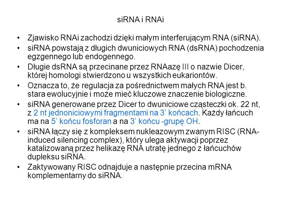 siRNA i RNAi Zjawisko RNAi zachodzi dzięki małym interferującym RNA (siRNA).