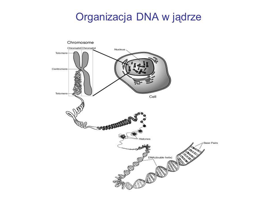 Organizacja DNA w jądrze