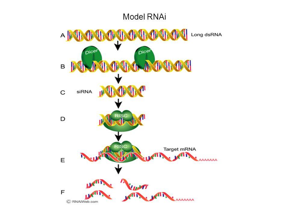 Model RNAi
