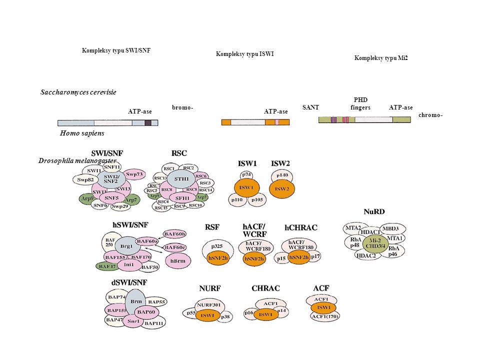 Kompleksy typu SWI/SNF Saccharomyces cerevisie Drosophila melanogaster
