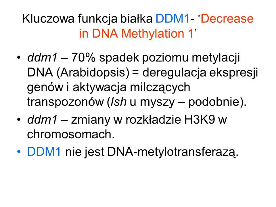 Kluczowa funkcja białka DDM1- 'Decrease in DNA Methylation 1'