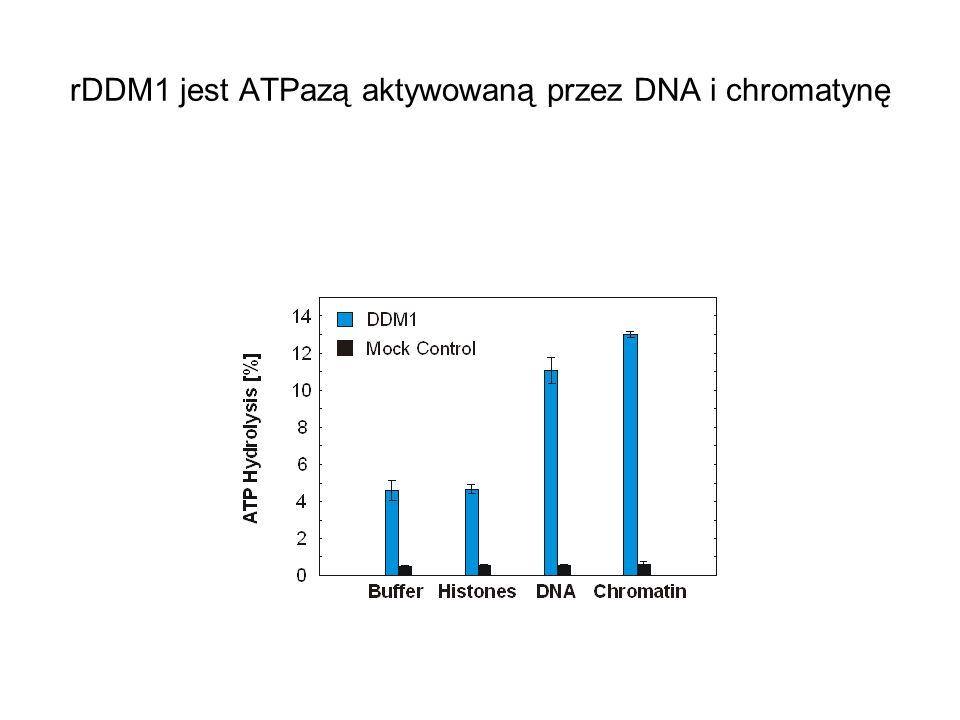 rDDM1 jest ATPazą aktywowaną przez DNA i chromatynę
