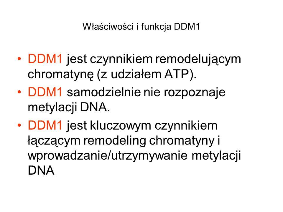 Właściwości i funkcja DDM1