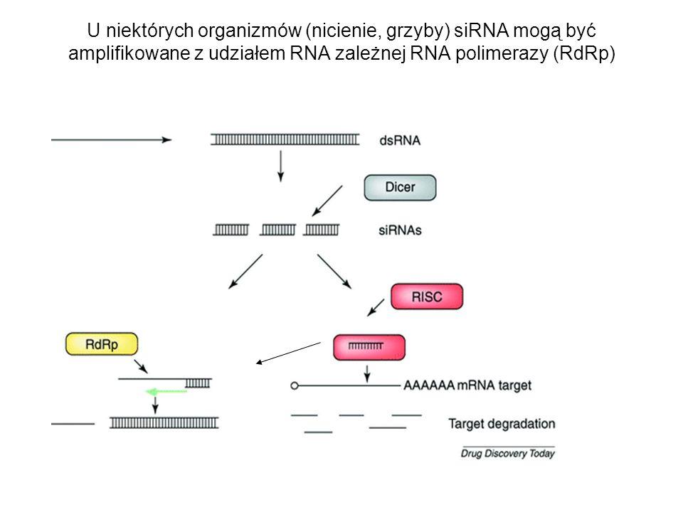 U niektórych organizmów (nicienie, grzyby) siRNA mogą być amplifikowane z udziałem RNA zależnej RNA polimerazy (RdRp)