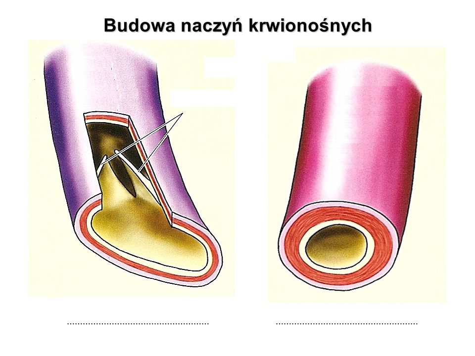 Budowa naczyń krwionośnych