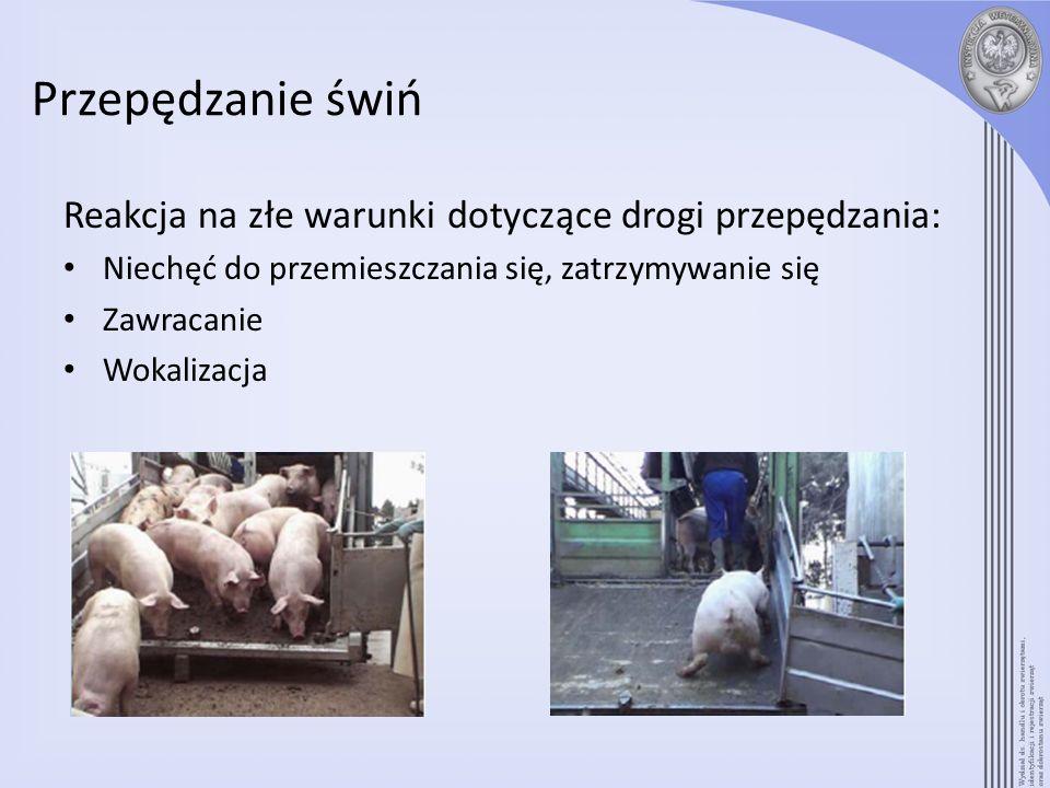 Przepędzanie świń Reakcja na złe warunki dotyczące drogi przepędzania: