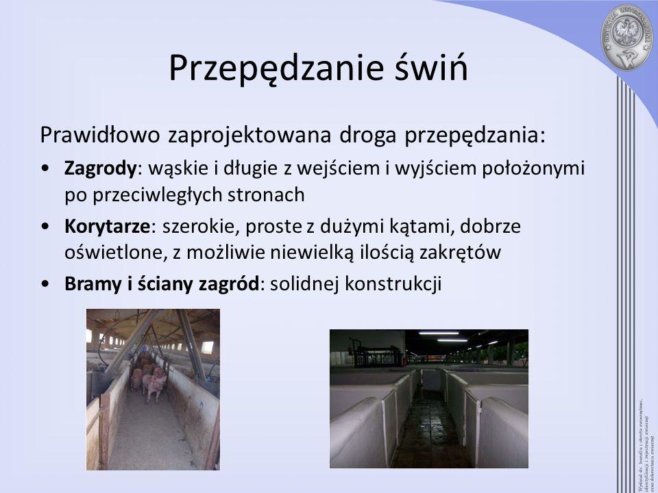 Przepędzanie świń Prawidłowo zaprojektowana droga przepędzania: