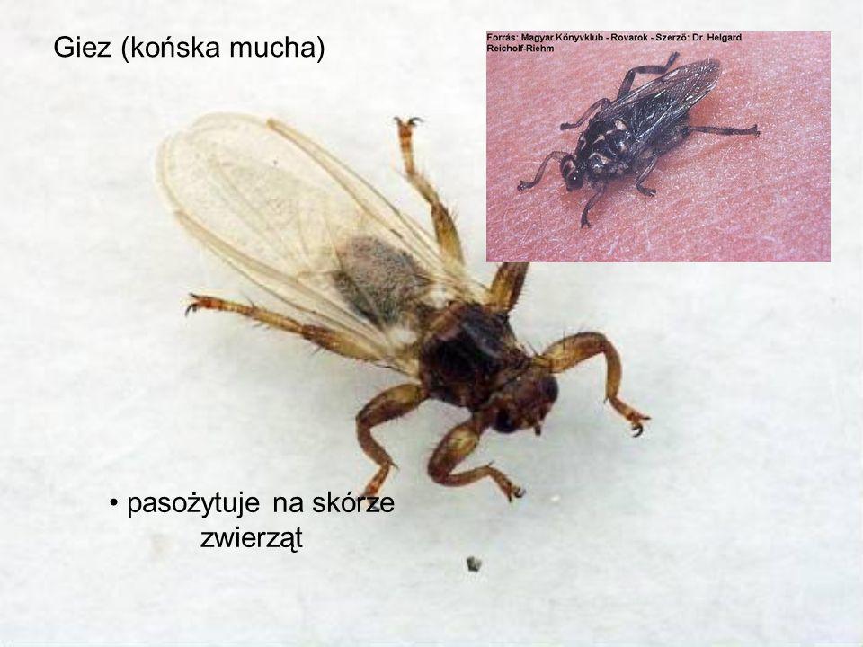 pasożytuje na skórze zwierząt