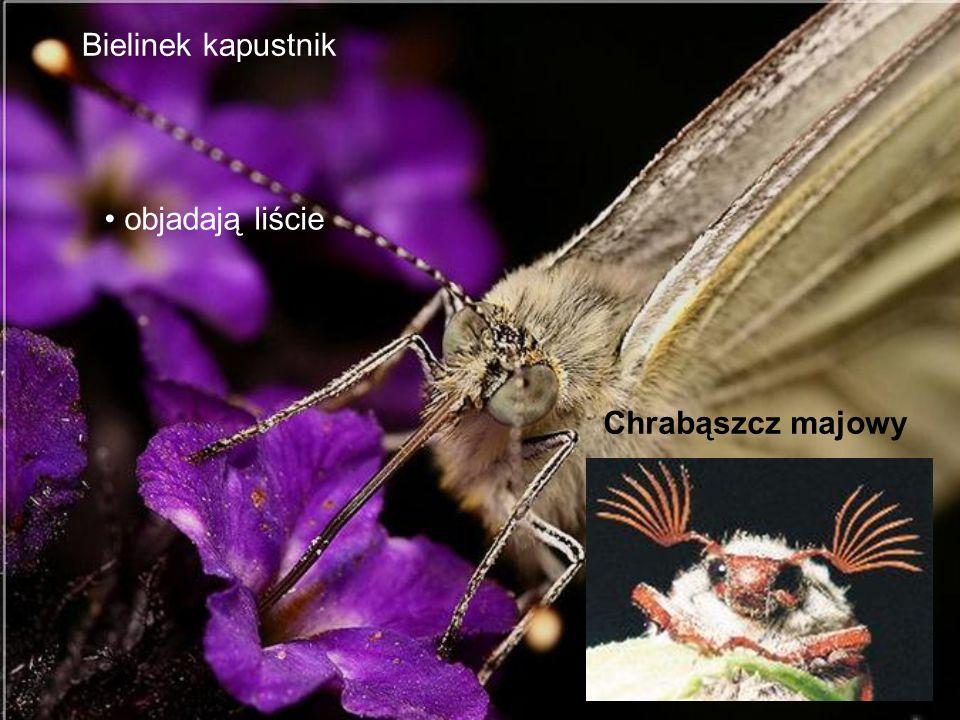 Bielinek kapustnik objadają liście Chrabąszcz majowy
