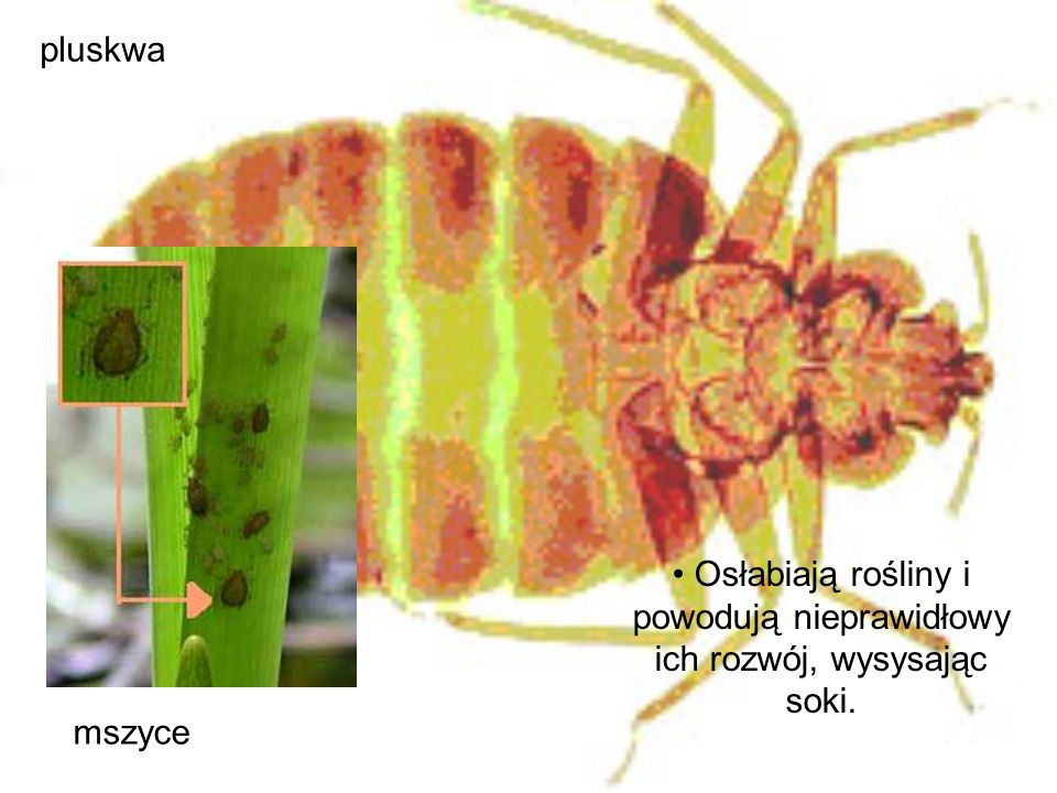 Osłabiają rośliny i powodują nieprawidłowy ich rozwój, wysysając soki.