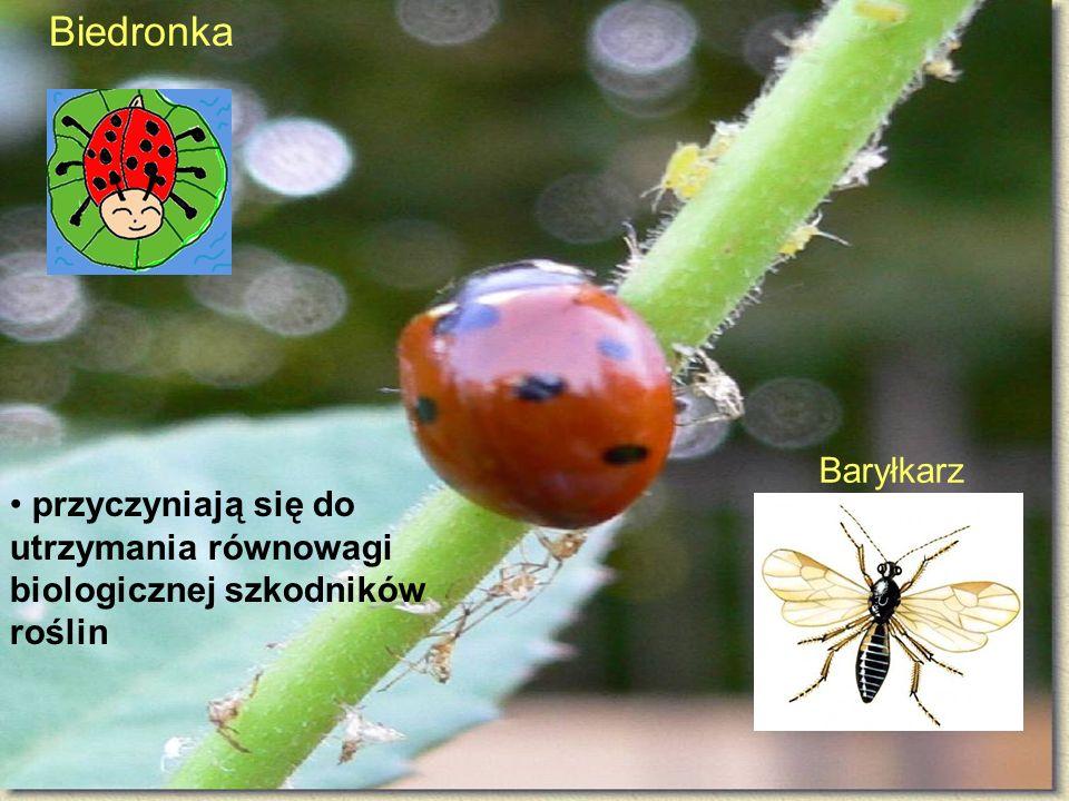 Biedronka Baryłkarz przyczyniają się do utrzymania równowagi biologicznej szkodników roślin